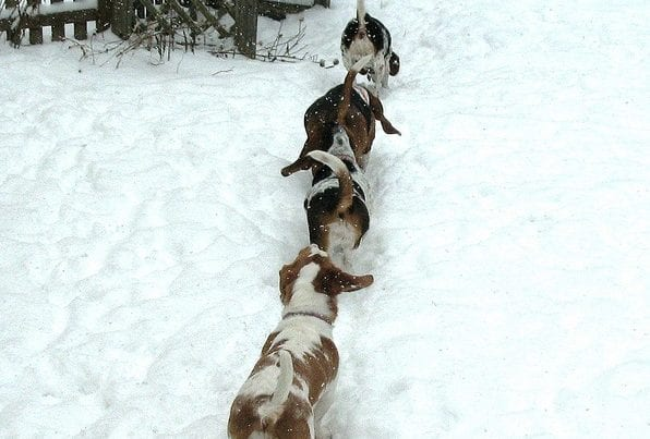 Beagles getting away
